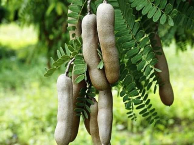 amazing health benefits of tamarind leaves   चिंचेप्रमाणेच चिंचेची पानेही आरोग्यासाठी फायदेशीर!