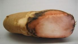 potato-pink-rot
