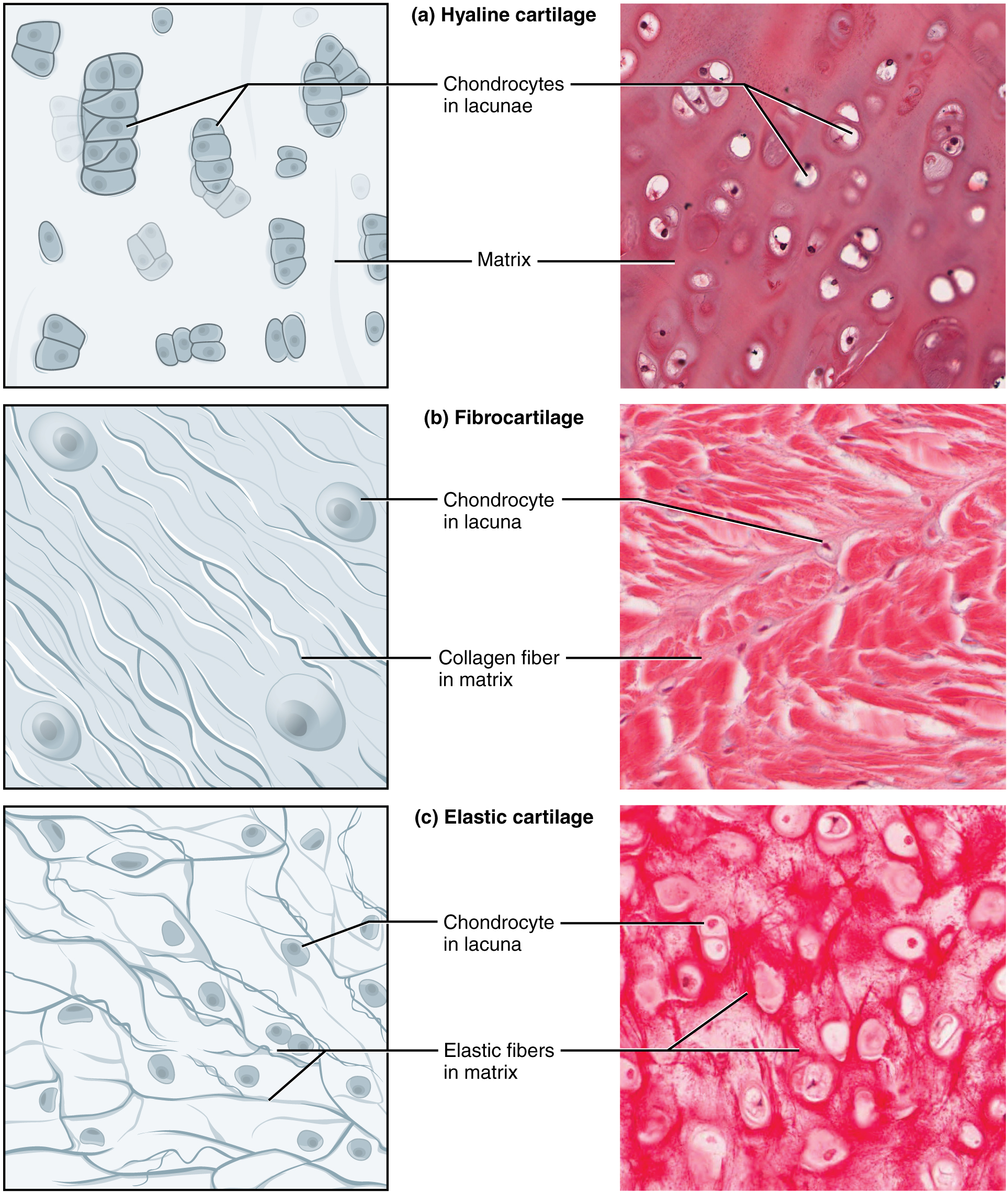 Connective Tissue Muscle Tissue Epithelial Tissue