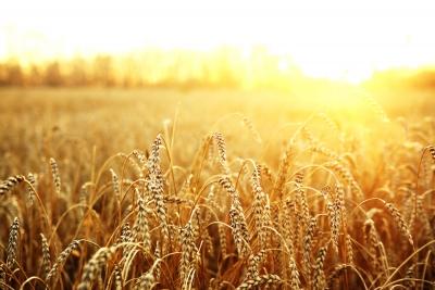 Resultado de imagem para trigo