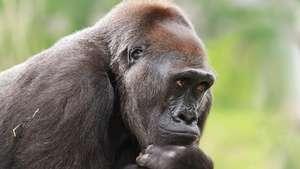 Dem Rep of Congo - Kahuzi Biega Lowland Gorillas