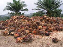 Palmeoljefrukt liggende i en stor haug på bakken.