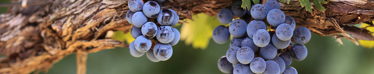 Our Daily Bread 20 September 2019 Devotions - In The Vine