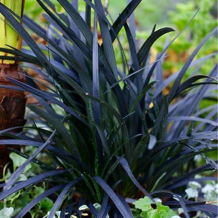 Ophiopogon Planiscapus Nigrescens Black Ornamental Grass