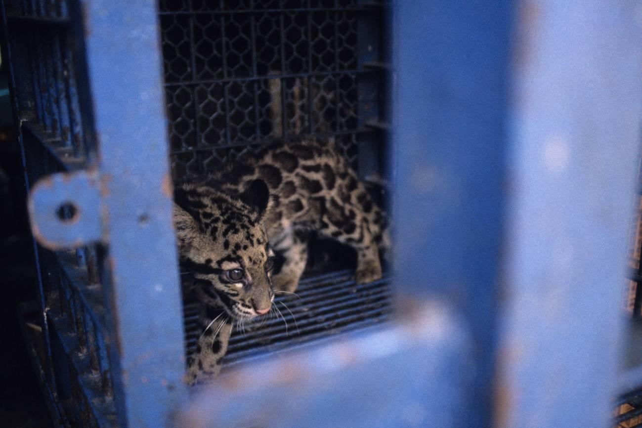 Muchos mamíferos son cazados y comercializados de manera ilegal