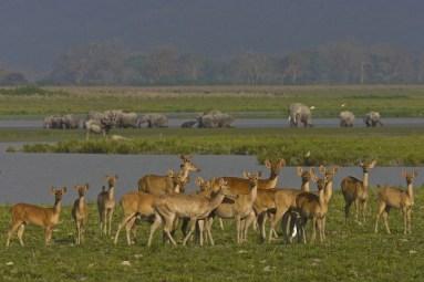 Deers and Elephants At Kaziranga National Park