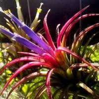 Tillandsia Blooms