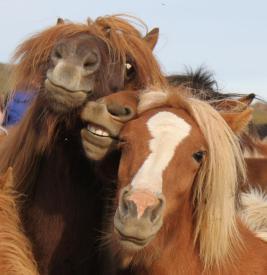 Copy of icelandie horses