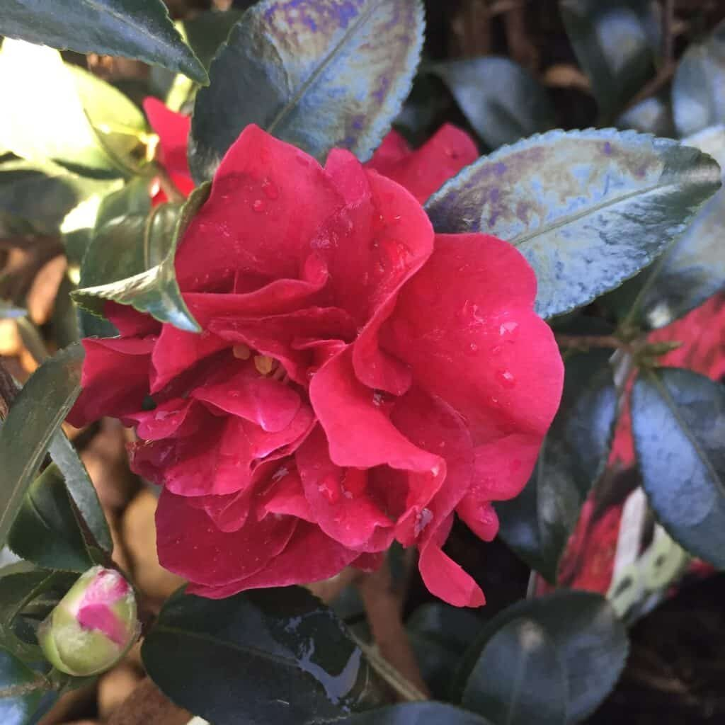 October Ruby Camellia Magic Winter