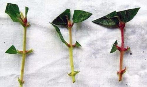 Нижние листья у черенка удаляются, а верхние обрезаются на две трети