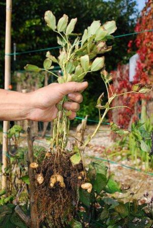 Можно ли посадить арахис. Секреты посадки и выращивания арахиса на огороде