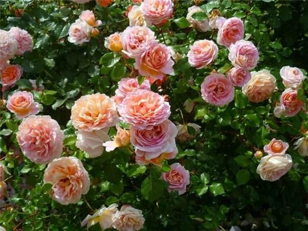 Роза Абрахам Дерби: фото, описание, подготовка к зиме, отзывы