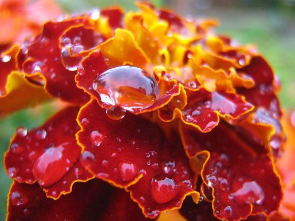 Выращивание настурции (50 фото): из семян, когда сажать ...