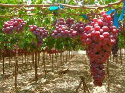 Виноград Сенатор: характеристика павловского сорта Vitis ...