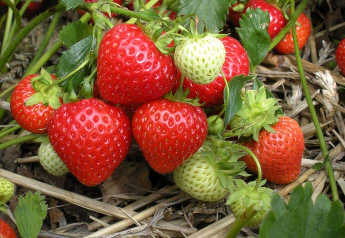 Плодоносят ранние земляничные сорта всего 1 раз за сезон
