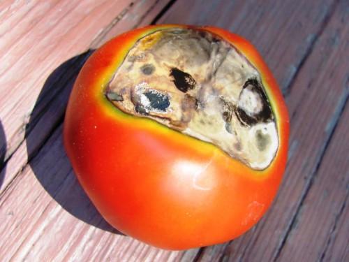 Болезни томатов и борьба с ними — фото | Дача своими руками