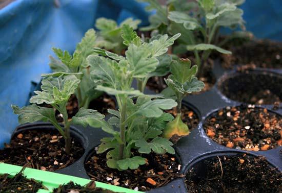 Черенкование хризантемы весной летом осенью