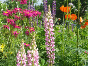 Неприхотливые и долгоцветущие цветы многолетники для сада ...