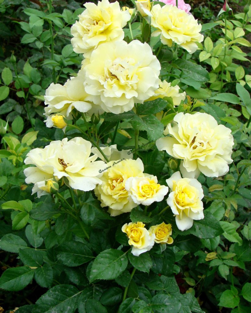 Посадка плетистых роз в открытый грунт