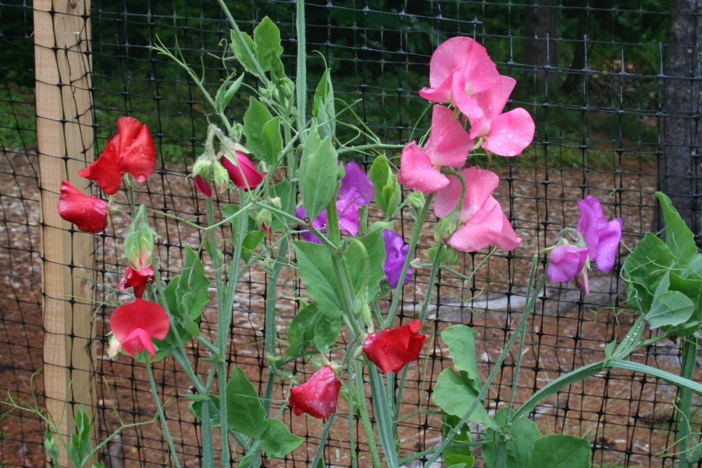 Душистый горошек посадка и уход. Душистый горошек однолетний: описание, сорта, выращивание из семян