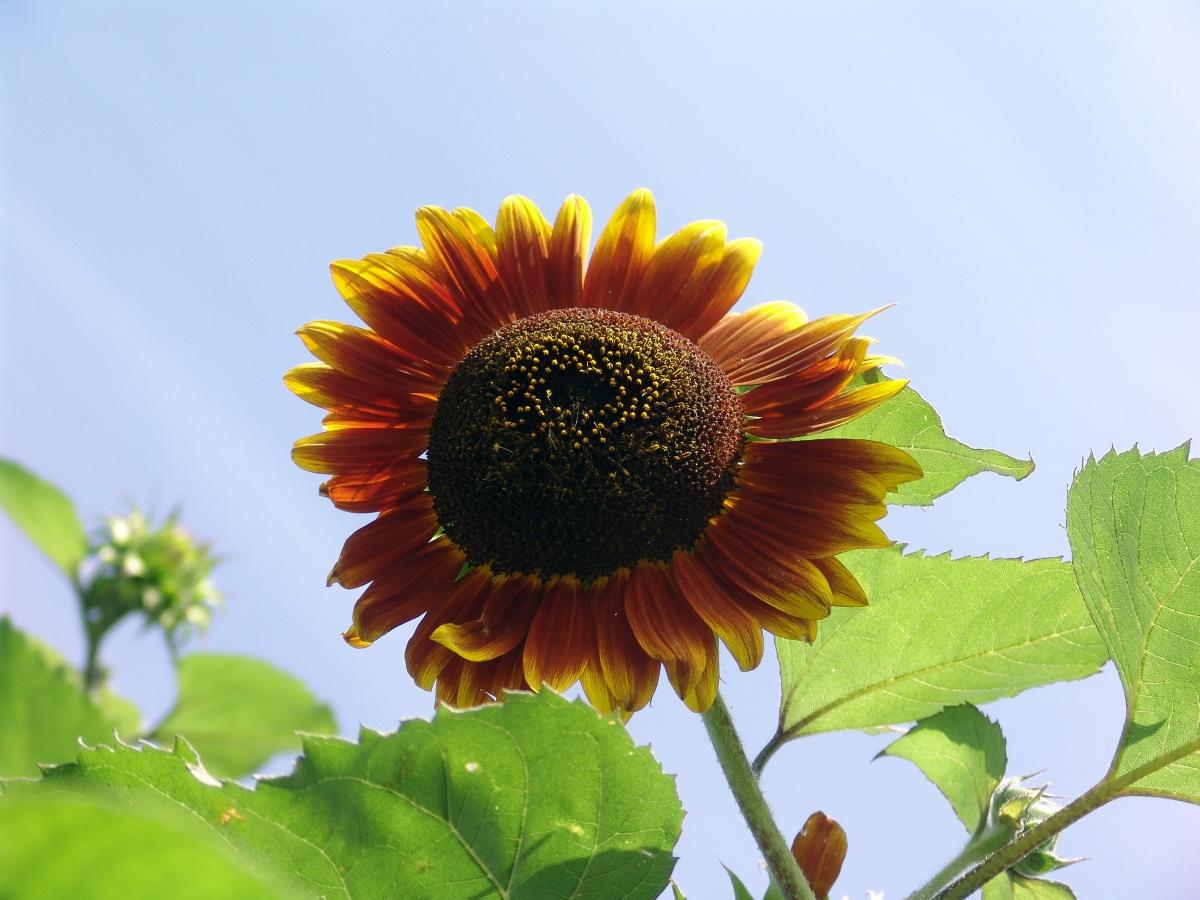цветы похожие на подсолнухи фото это основная единственная