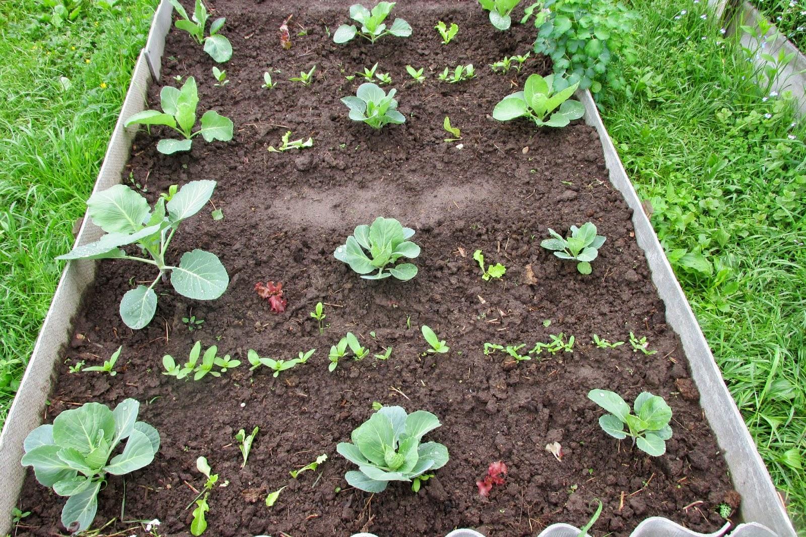 Полезные советы, чтобы вырастить цветную капусту в условиях открытого грунта. Правила выращивания цветной капусты в открытом грунте и в теплице Цветная капуста как выращивать в грунте