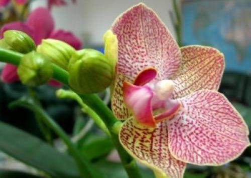 Opțiunea Număr 1: Luați în considerare modul de îngrijire a orhideelor, dacă nu produce un bloomer, iar frunzele și rădăcinile nu cresc.