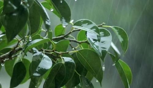 Hoe de Ficus te water