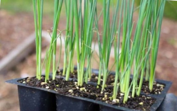 Лук-порей: выращивание в домашних условиях из семян ...