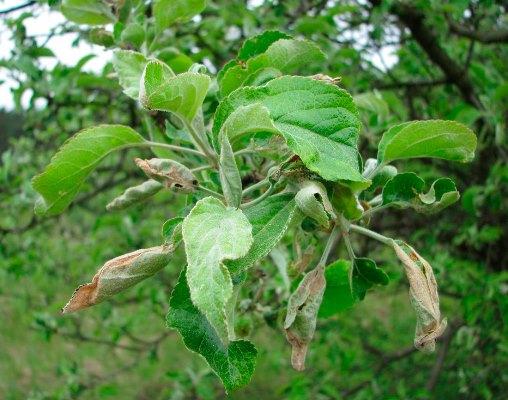 Листовертка на груше: чем обработать, как выглядят листья ...