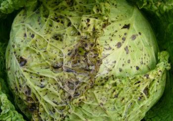 Почему появляются черные точки на капусте, можно ли есть ее