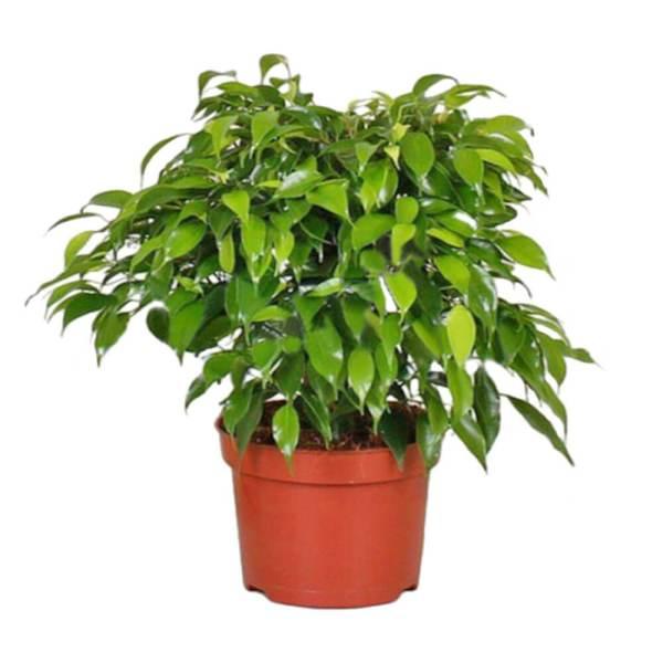 Фикус Бенджамина: сбрасывает листья, что делать? Уход в ...