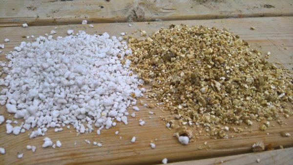 Вербена из семян в домашних условиях. Вербена — секреты выращивания из семян