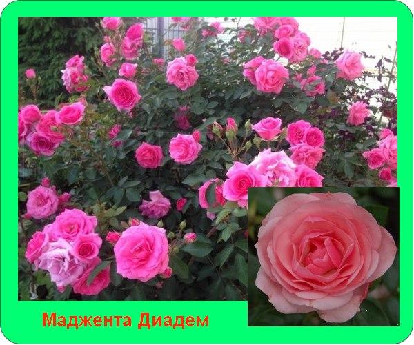 Сорта розы флорибунда описание, фото | Дачный участок