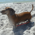 Video Dachshund Luke Swimming At The Beach Funny video showing little mini Dachshund Luke swimming in the ocean. Dachshund Luke may be a 12 year old Dachshund but he can still […]