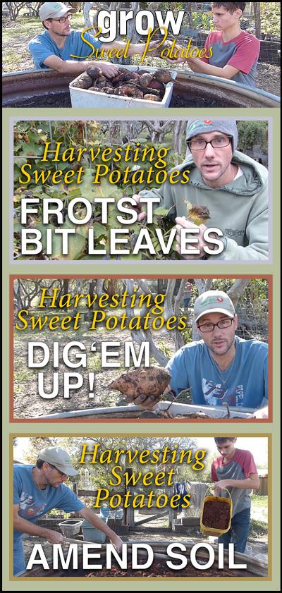 Grow Sweet Potatoes - pinterest image