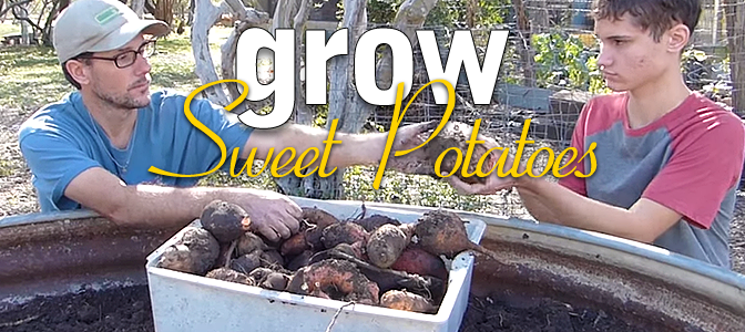 Grow Sweet Potatoes: Harvest the Reward!