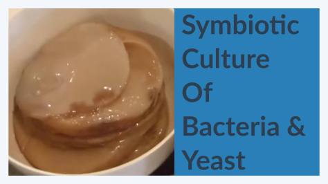 Kombucha SCOBY - Symbiotic Culture of Bacteria and Yeast