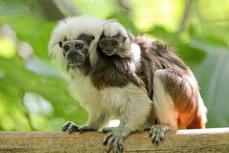Cotton-top-Tamarin-Image4-1024x683 Обращайтесь с ребенком как с обезьянкой!