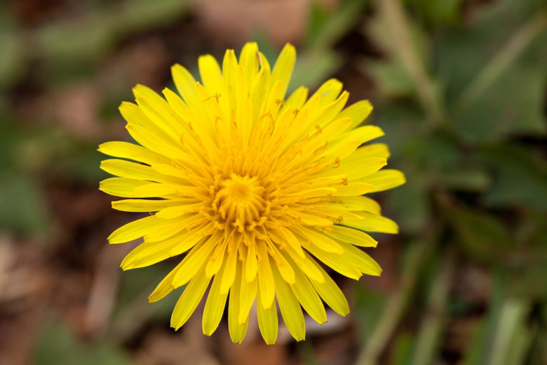 Is a dandelion a weed or a flower?