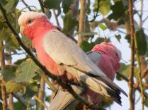 Galahs in the evening light
