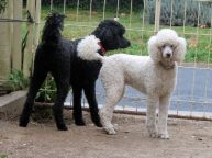 Cassis and Lily the standard poodles