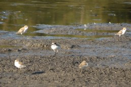 red-capped plover, adults, male and female, and chicks