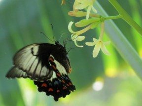 butterfly and pawpaw flower