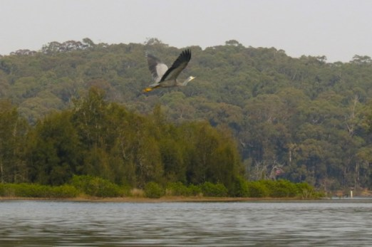 white-faced heron flying