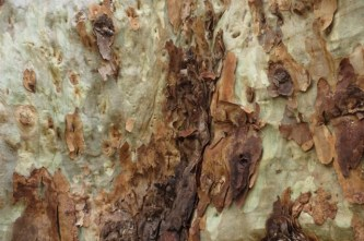 bark of a giant spotted gum