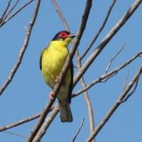 North Qld Birds