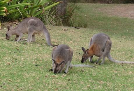 two Red-necked wallabies, one Eastern Grey kangaroo