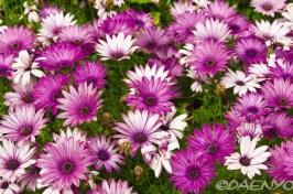 Flowers, Valldemossa