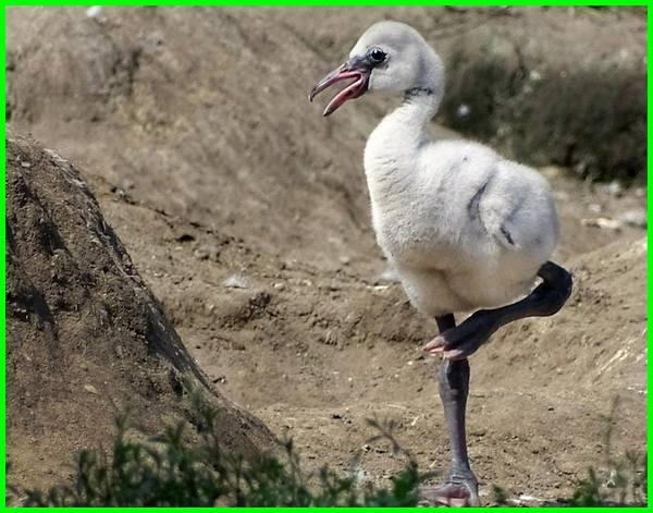 foto burung flamingo, fakta burung flamingo, gambar burung flamingo, burung flamingo hewan, sifat burung flamingo, sejarah burung flamingo, tentang burung flamingo